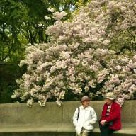 Japonesas e a Cerejeira