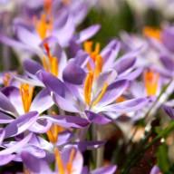 lilacs-alta.jpg